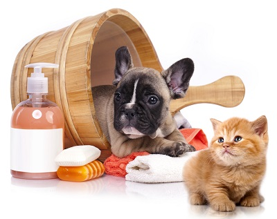 french bulldog puppy and kitten being groomed